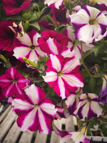 Petunias Cannon Ball Raspberry Star