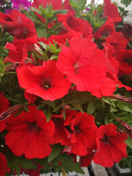Petunias Cannon Ball Red