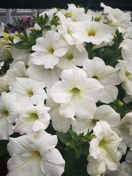 Petunias Cannon Ball White