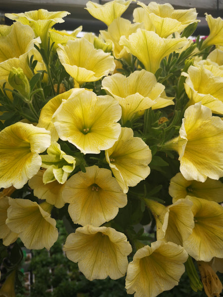 Petunias Cannon Ball Yellow