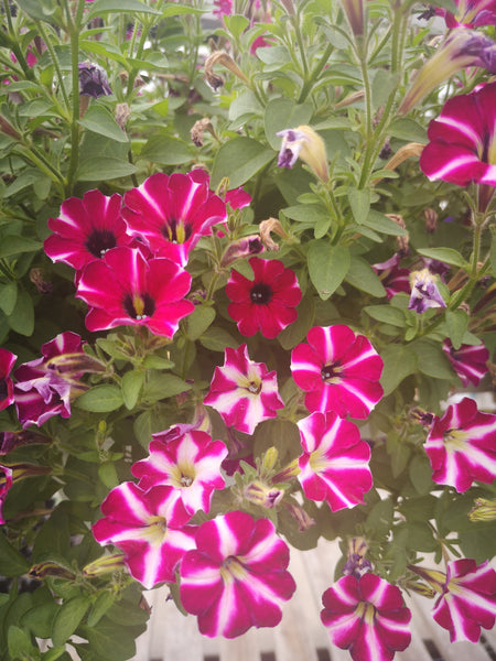 Petunias Littletunia Bicolour Illusion