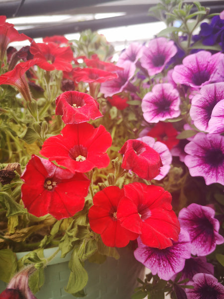 Petunias Littletunia Bright Red