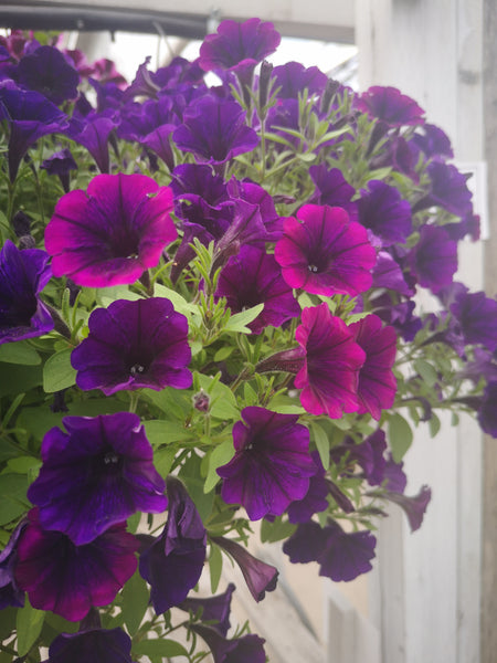 Petunias Littletunia Purple Blue