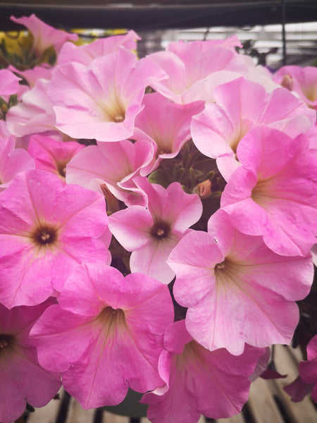 Petunias Potunia Cotton Candy