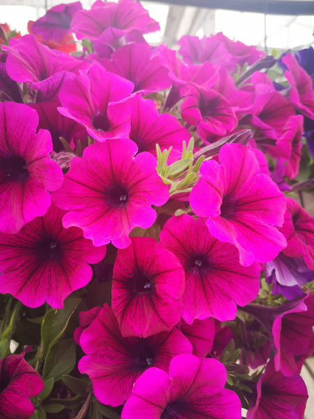 Petunias Potunia Plus Purple