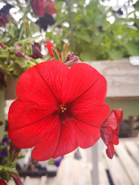 Petunias Potunia Plus Red