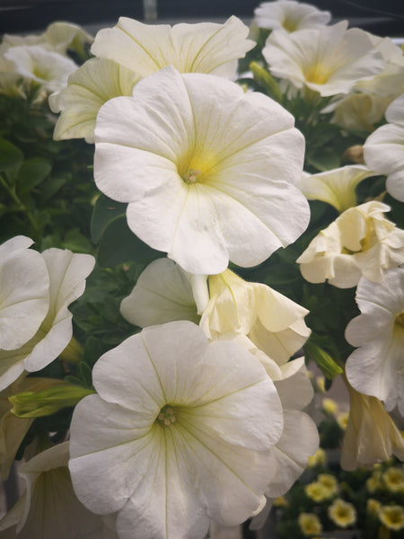 Petunias Potunia Plus White