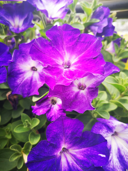 Petunias Sanguna Patio Radiant Dark Blue