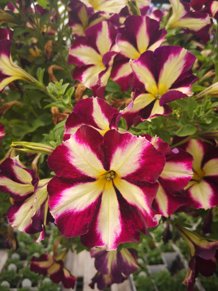 Petunias Surprise Monarch Star
