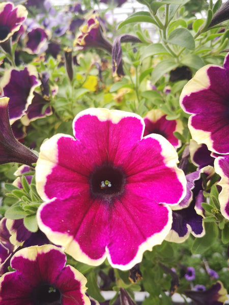 Petunias Surprise Moonlight Bay