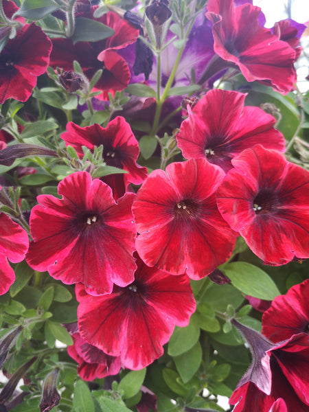 Petunias Sweetunia Fiona Flash