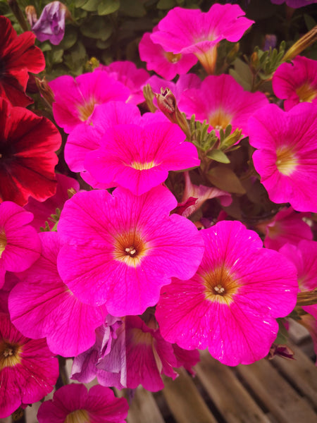 Petunias Sweetunia Hot Pink Lemonade
