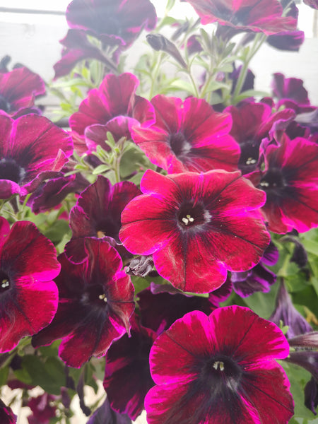 Petunias Sweetunia Johnny Flame