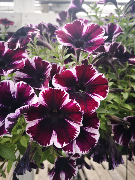 Petunias Sweetunia Miss Marvel