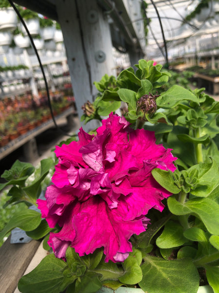 Petunias Double Super Cascade Burgundy