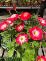Petunias Madness Red Morn