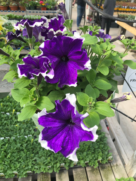 Petunias Frost Blue