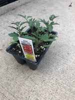 Tomato Bush Early Girl