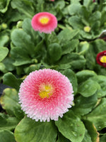 Bellis Strawberries and Cream