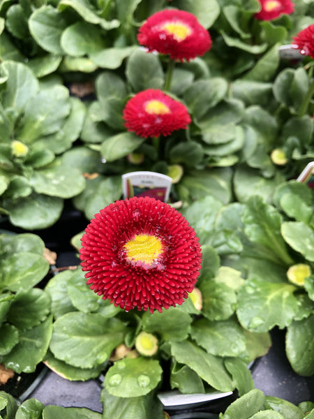 Bellis Tasso Red