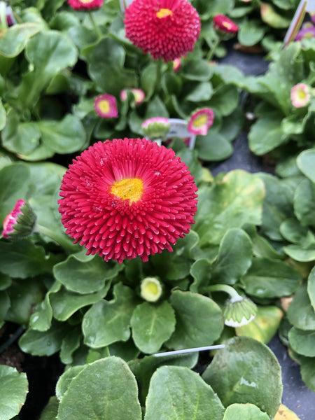 Bellis Tasso Deep Rose