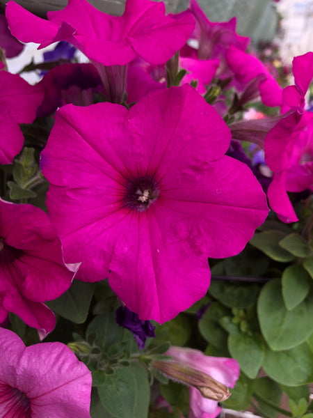 Petunias Easy Wave Neon Rose
