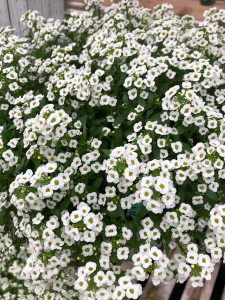 Alyssum Clear Crystal's