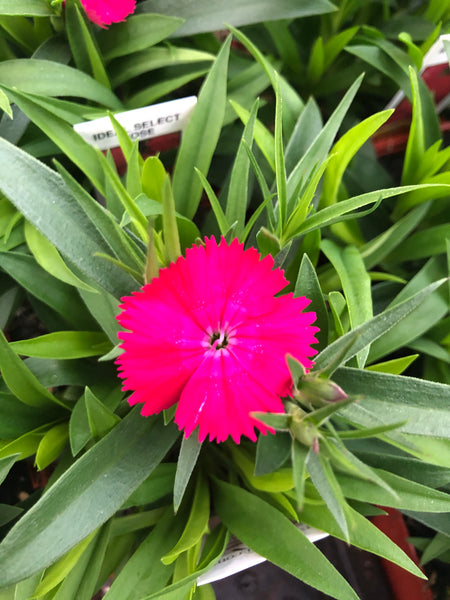 Dianthus Ideal Rose