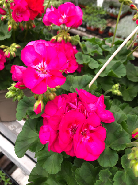 Geranium Zonal Sunrise Hot Rose + Eye