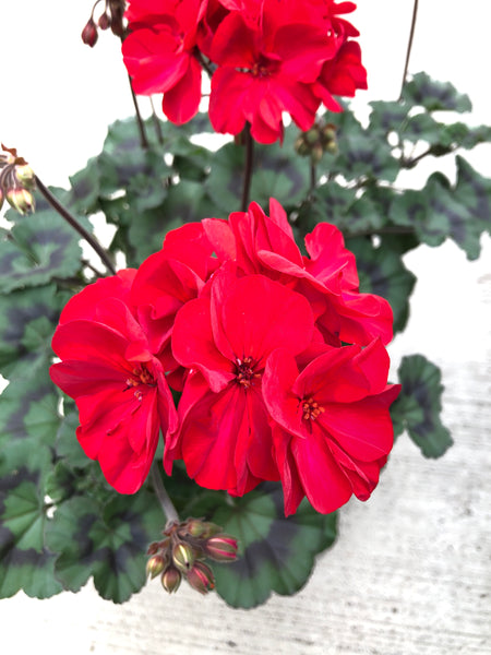 Geranium Zonal Super Moon Red