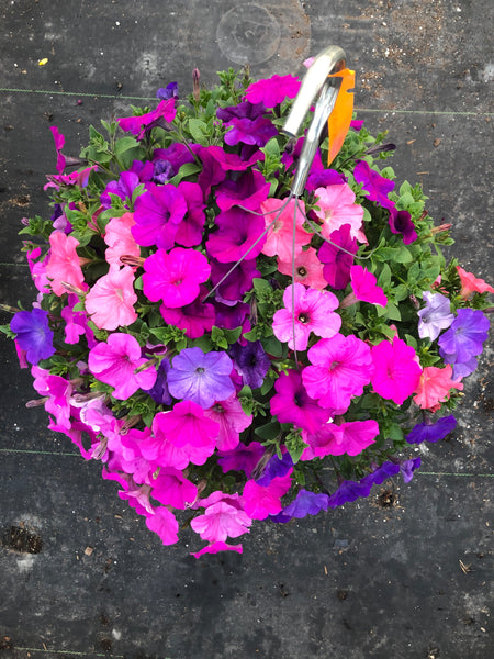 Petunias Just Beachin' Mix
