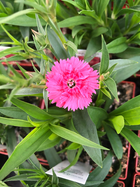 Dianthus Ideal Salmon