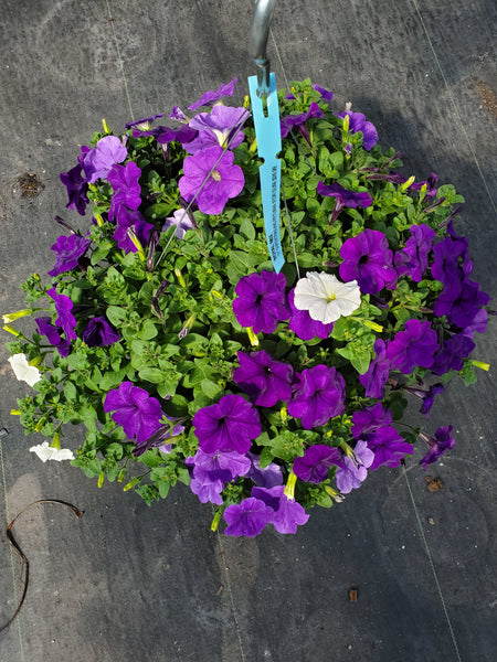 Petunias Royal Mix