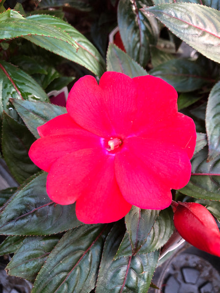 New Guinea Impatiens Impower Dark Red