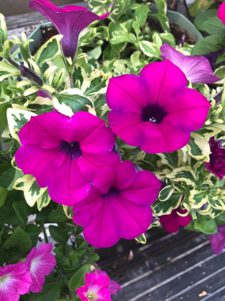 Petunias Wave Variegated Purple