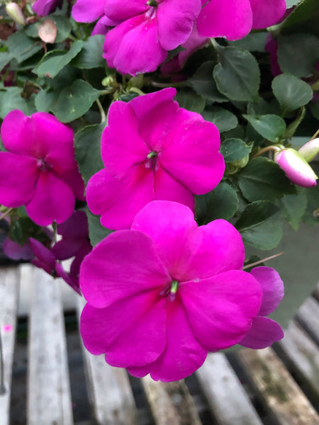 Seed Impatiens Lilac