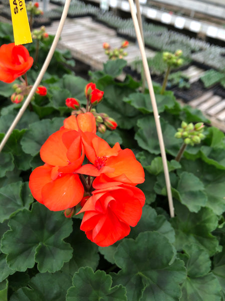 Geranium Zonal Savannah Oh So Orange