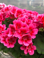 Geranium Mounding Calliope Rose Mega Splash Medium