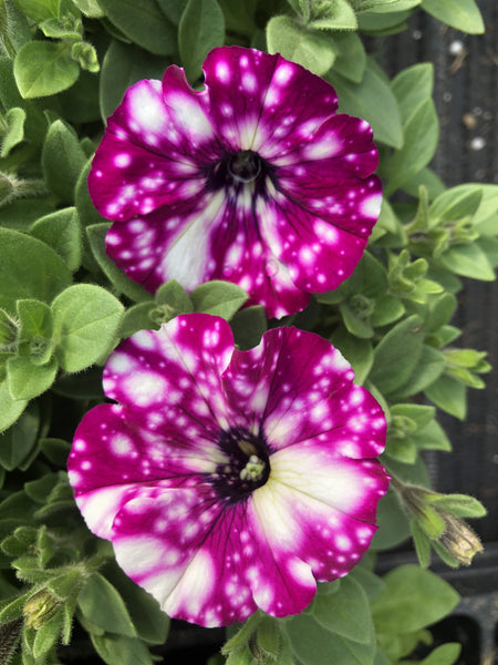 Petunias Headliner Electric Purple Sky