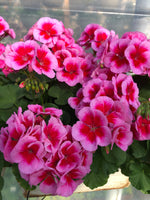 Geranium Mounding Calliope Rose Mega Splash Large