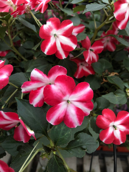 Seed Impatiens Red Star