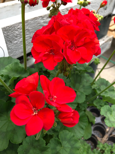 Geranium Zonal Americana Bright Red