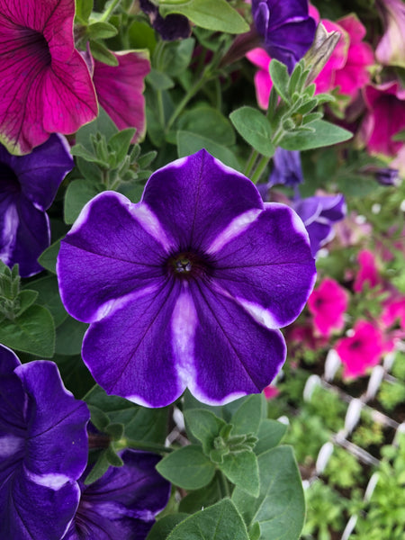 Petunias Cascadia Purple Gem