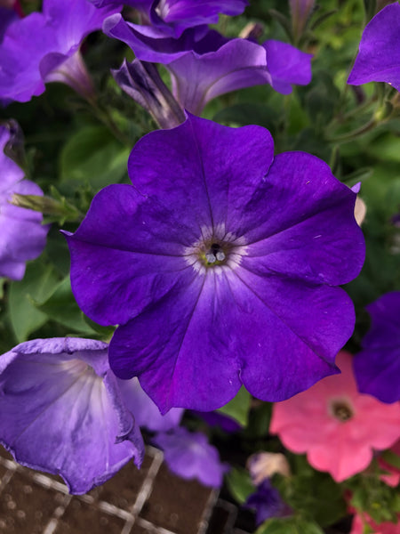 Petunias Easy Wave Lavender Sky Blue