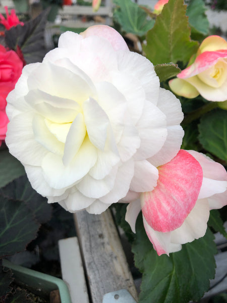 Begonia Non-Stop Apple Blossom