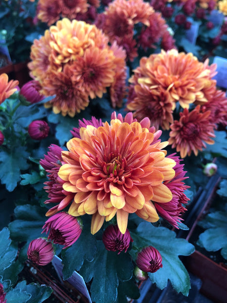Hardy Garden Mum Cheryl Spicy Orange