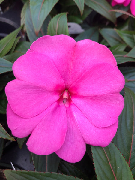 New Guinea Impatiens Clockwork Rose