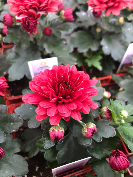 Hardy Garden Mum Cheryl Jolly Red