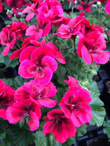Martha Washington Candy Flowers Bright Red
