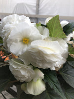 Begonia Illumination White